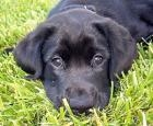 Black Puppy for sale (Brutus)