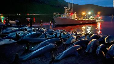 1,400 dolphins were killed in the Faroe Islands in one day
