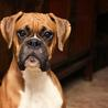 Boxer dog for sale